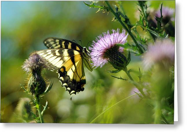 Common Tiger Butterfly Greeting Cards - Eastern Tiger Swallowtail on Thistle Greeting Card by Rebecca Sherman