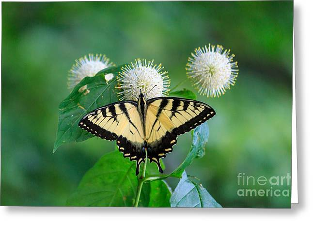 Red Green Black Pyrography Greeting Cards - Eastern Tiger Swallowtail Greeting Card by Rebecca Brooks