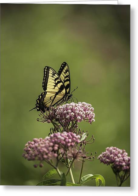 Common Tiger Butterfly Greeting Cards - Eastern Tiger Swallowtail Greeting Card by Thomas Young