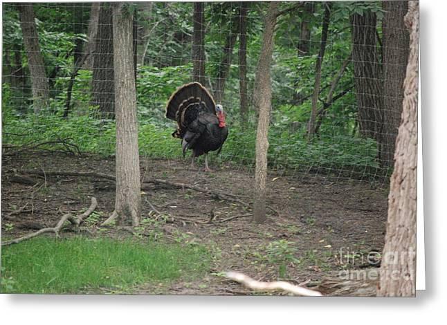 Eastern Tom Turkey Greeting Card by Mark McReynolds