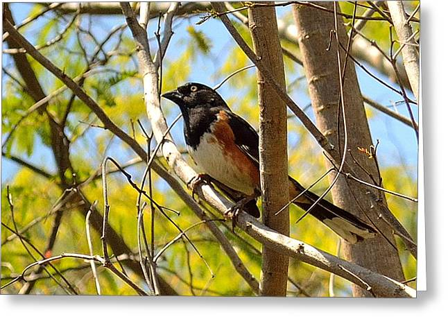 Brown Towhee Greeting Cards - Eastern Towhee Greeting Card by Alan Seelye-James