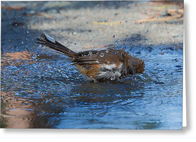Cape Cod Mass Greeting Cards - Eastern Towhee Greeting Card by Bill  Wakeley