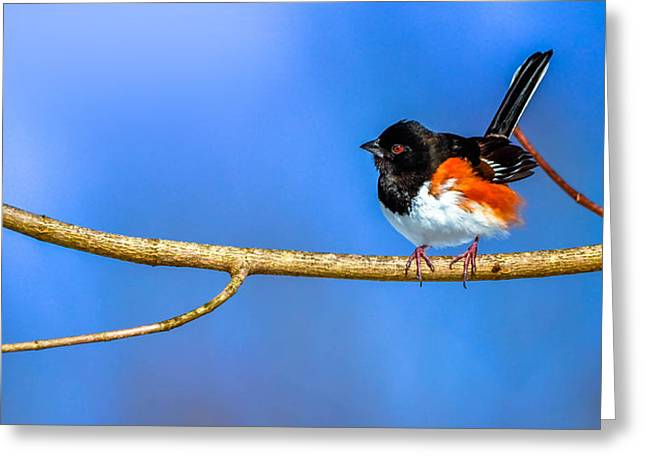 Winter Migrants Greeting Cards - Eastern Towhee Greeting Card by Brian Stevens