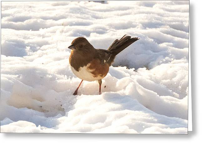 Brown Towhee Greeting Cards - Eastern Towhee   Greeting Card by Jan M Holden