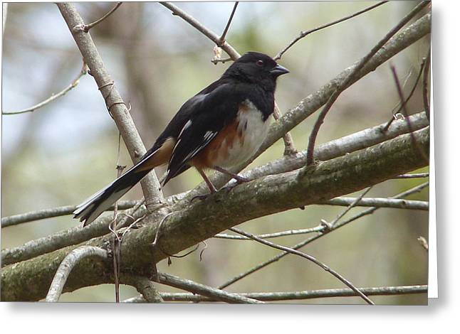 Brown Towhee Greeting Cards - Eastern Towhee Keeping Lookout Greeting Card by Cindy McFadden