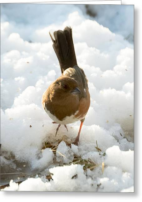 Brown Towhee Greeting Cards - Eastern Towhee Poses for Photograph  Greeting Card by Jan M Holden
