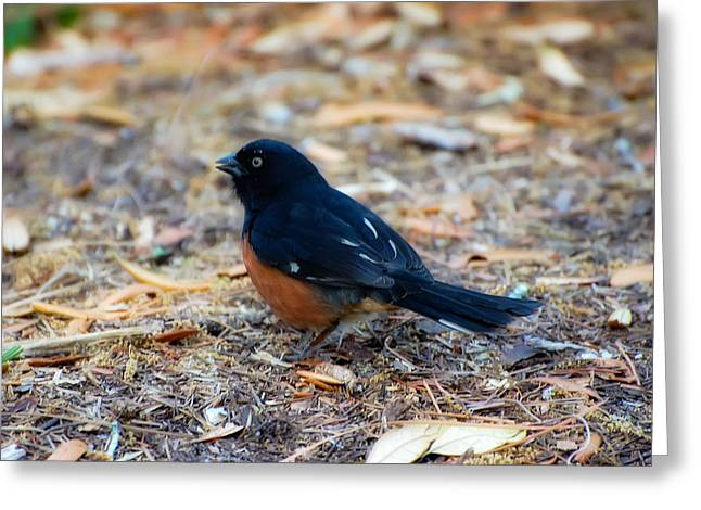 Eastern Towhee Greeting Card by Rich Leighton