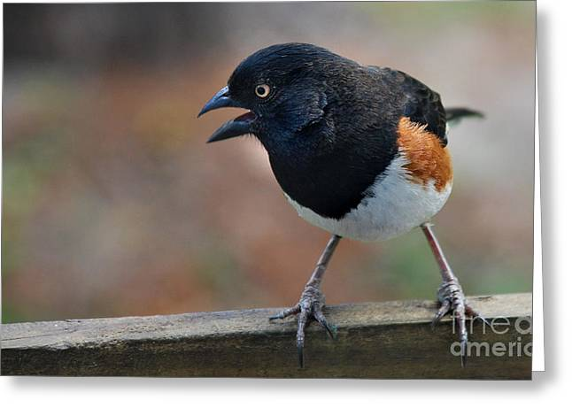Kinds Of Birds Greeting Cards - Eastern Towhee Greeting Card by Skip Willits