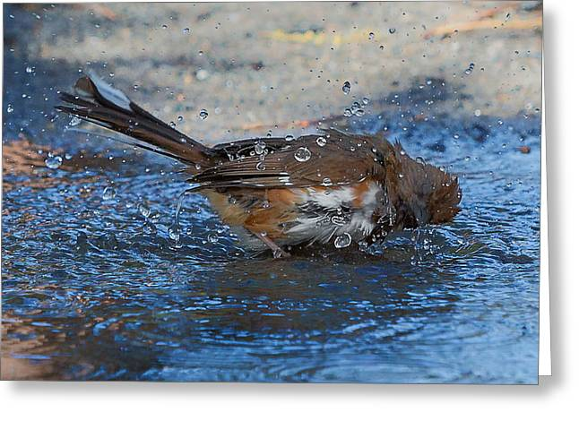 Song Birds Greeting Cards - Eastern Towhee Square Greeting Card by Bill  Wakeley