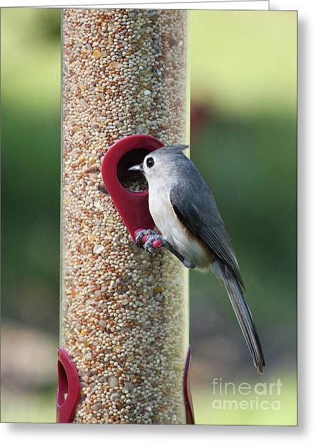 Back Yard Birds Greeting Cards - Eastern Tufted Titmouse  Greeting Card by Carol Groenen