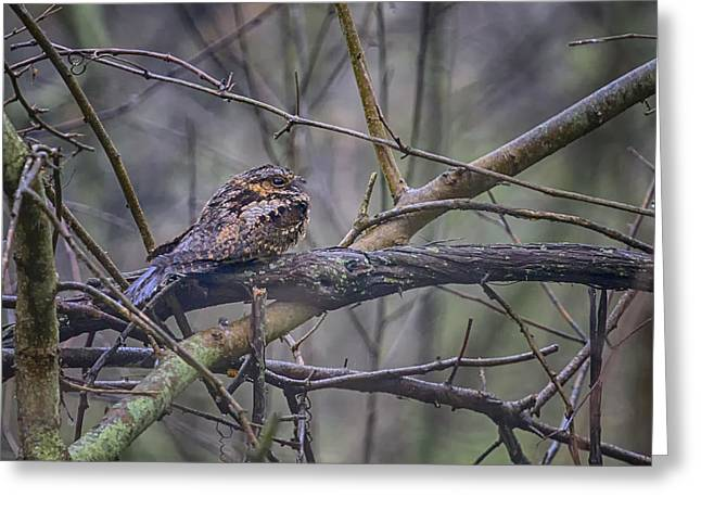 Nightjars Greeting Cards - Eastern Whip-poor-will Greeting Card by Gary Hall