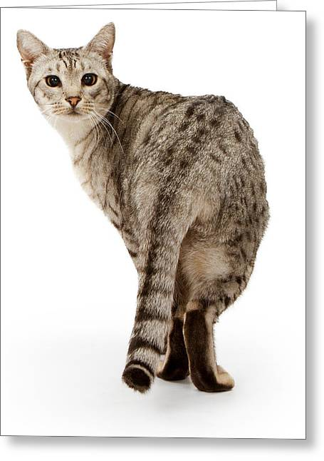 Playful Animals Greeting Cards - Ebony Silver Ocicat isolated on white Greeting Card by Susan  Schmitz