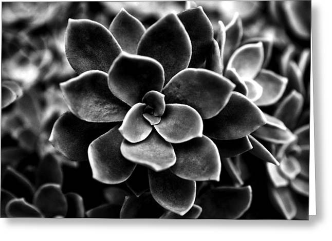 Ornamental Plants Greeting Cards - Echeveria elegans Greeting Card by Fabrizio Troiani