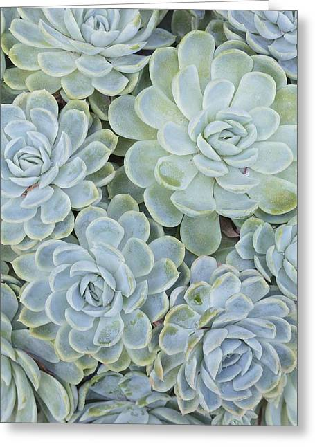 Rosette Greeting Cards - Echeveria elegans Greeting Card by Science Photo Library