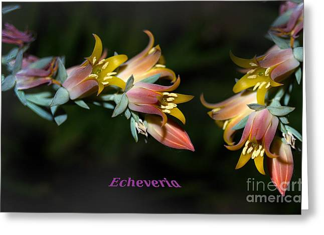 Stamen Digital Art Greeting Cards - Echeveria Greeting Card by The Stone Age
