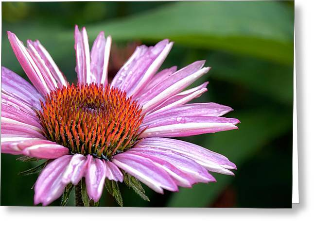Purple Flower Greeting Cards - Echinacea Greeting Card by Bill  Wakeley