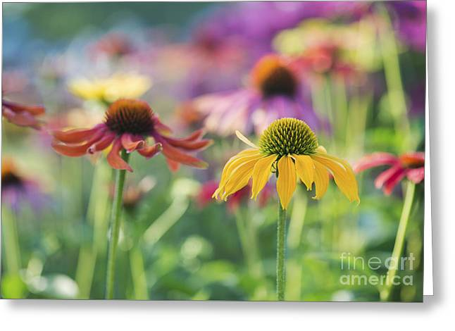 Ornamental Plants Greeting Cards - Echinacea Cheyenne Spirit Greeting Card by Tim Gainey