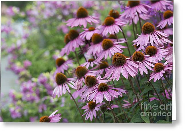 Ornamental Plants Greeting Cards - Echinacea Purpurea Rubinglow Greeting Card by Tim Gainey