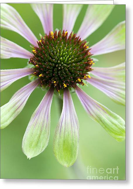 Color Green Greeting Cards - Echinacea Green Envy Flower Greeting Card by Tim Gainey