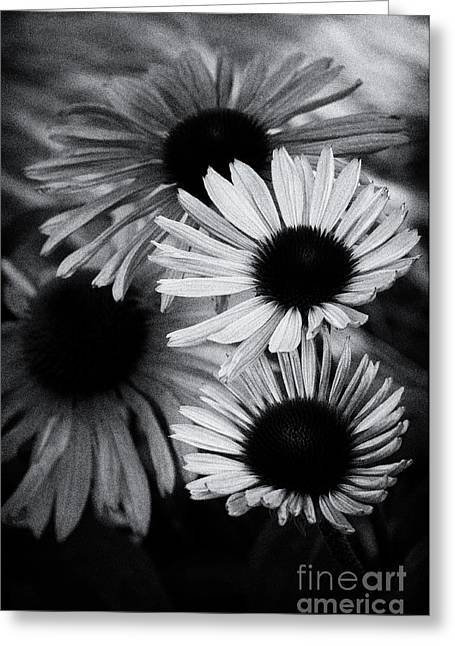 Asteraceae Greeting Cards - Echinacea Noir Greeting Card by Venetta Archer