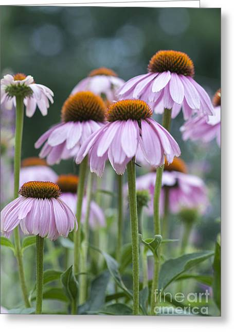 Beauty In Nature Greeting Cards - Echinacea Purpurea Greeting Card by Juli Scalzi