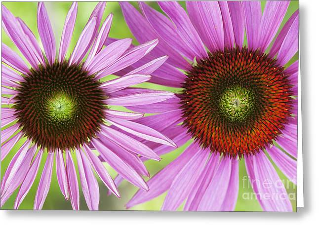 Ornamental Plants Greeting Cards - Echinacea Purpurea Rubinglow Pattern Greeting Card by Tim Gainey