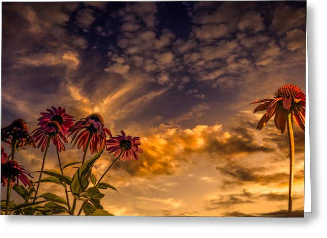 Echinacea Sunset Greeting Card by Bob Orsillo