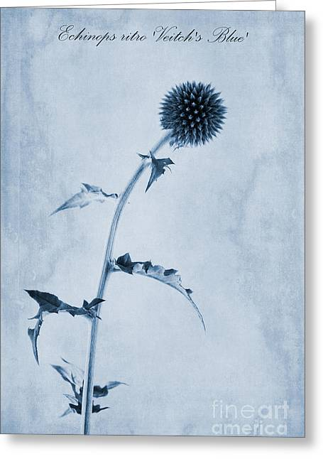 Blue Thistles Greeting Cards - Echinops ritro Veitchs Blue Cyanotype Greeting Card by John Edwards
