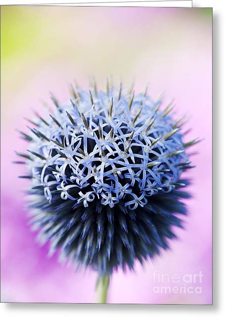 Echinops Ritro Veitchs Blue Flower Greeting Card by Tim Gainey