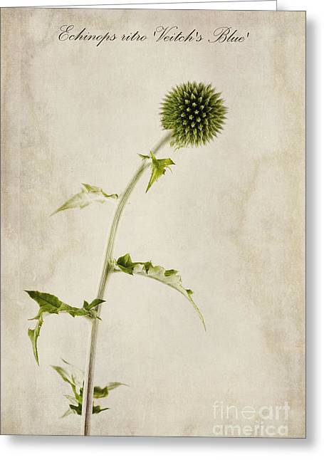 Blue Thistles Greeting Cards - Echinops ritro Veitchs Blue Greeting Card by John Edwards