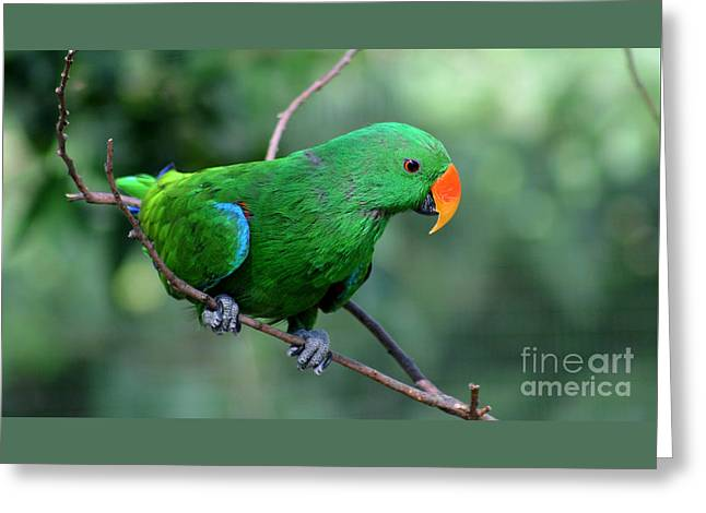 Gingrich Photography Digital Greeting Cards - Eclectus Parrot-4 Greeting Card by Gary Gingrich Galleries