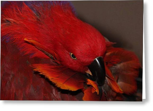Closup Greeting Cards - Eclectus Victoria Greeting Card by  Andrea Lazar
