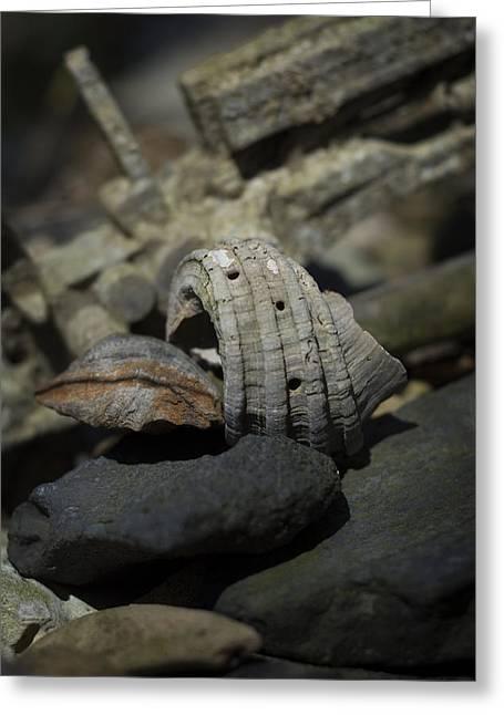 Miocene Greeting Cards - Ecphora gardnerae Greeting Card by Rebecca Sherman