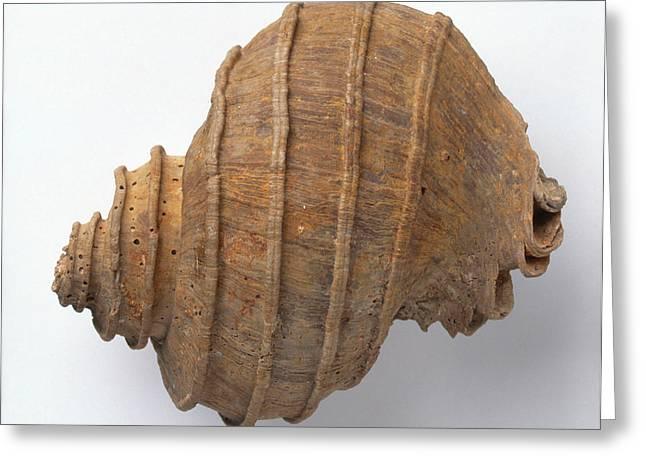 Ecphora Quadricostata Sea Snail Greeting Card by Dorling Kindersley/uig
