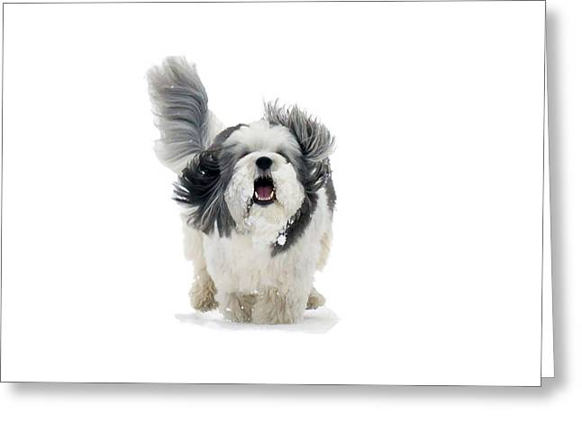 Coton De Tulear Greeting Cards - Ecstasy Greeting Card by Keith Armstrong