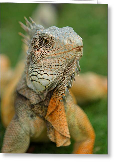 Lizard Head Greeting Cards - Ecuador Guayaquil Iguana In Iguana Park  Greeting Card by Anonymous
