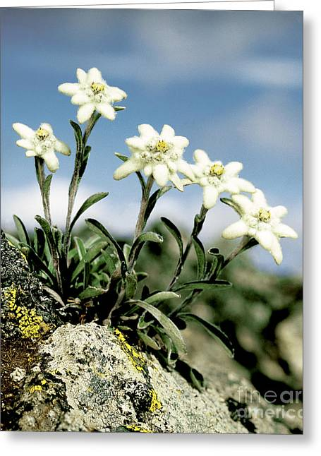 Magnoliopsida Greeting Cards - Edelweiss Greeting Card by Hermann Eisenbeiss