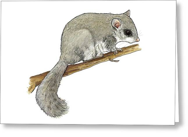 Dormouse Greeting Cards - Edible doormouse, artwork Greeting Card by Science Photo Library