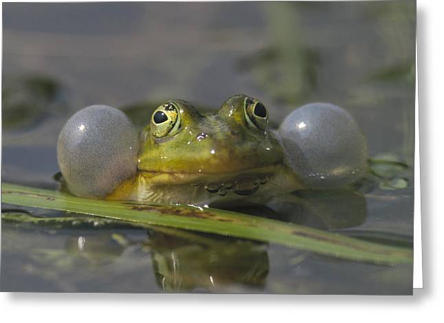 True Color Photograph Greeting Cards - Edible Frog Croaking In Pond Greeting Card by Konrad Wothe