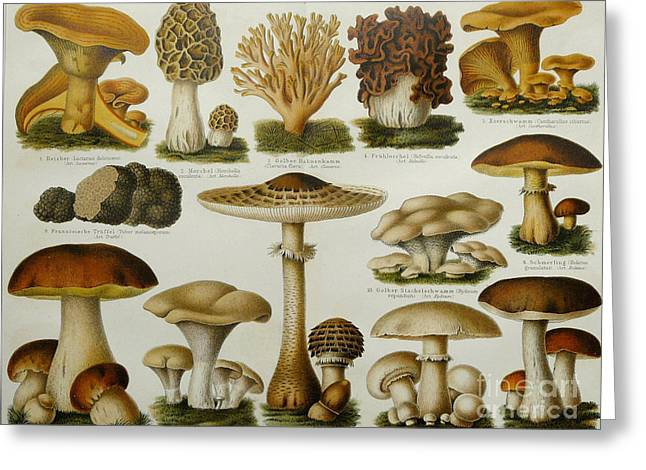 Granulatus Greeting Cards - Edible Mushrooms Greeting Card by Science Source