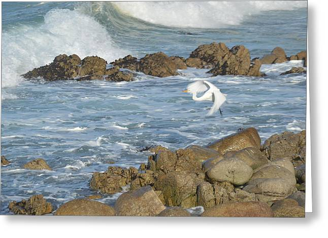 Seabirds Digital Art Greeting Cards - Egert In Flight Greeting Card by Barbara Snyder