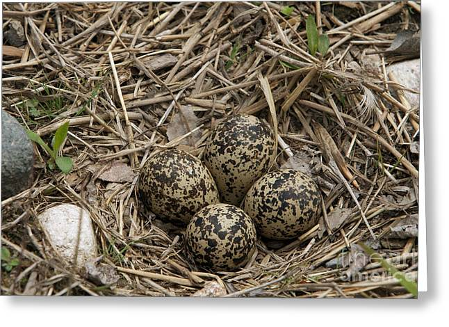 Killdeer Greeting Cards - Eggs In Killdeer Nest Greeting Card by Linda Freshwaters Arndt