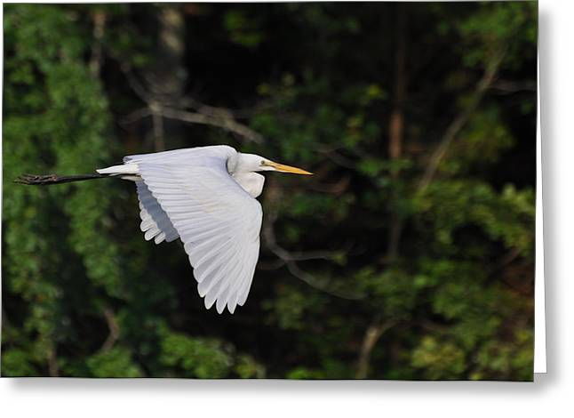Egret Fly By  - Egfbc2732d Greeting Card by Paul Lyndon Phillips