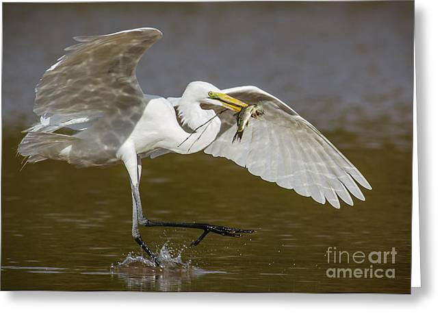Ardea Greeting Cards - Egret happy dance...... Greeting Card by Carl Jackson