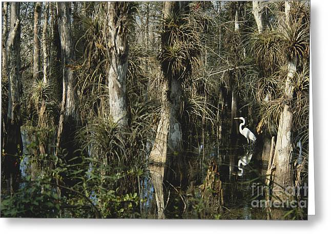 Bromeliad Greeting Cards - Egret In Big Cypress Greeting Card by Mark Newman