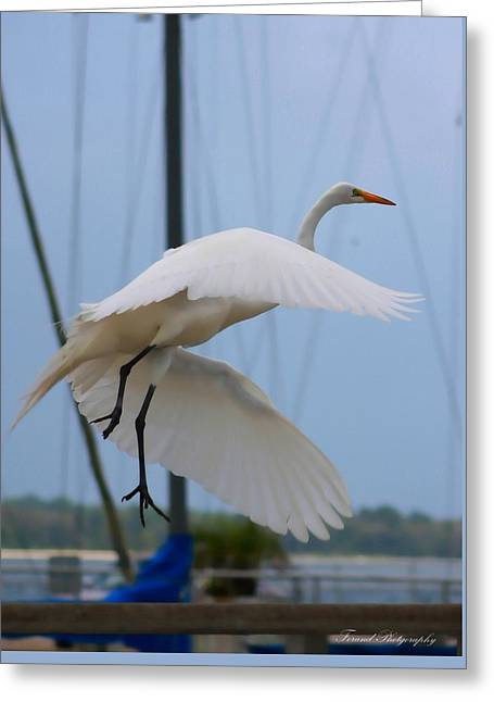 Egret In Flight Greeting Card by Debra Forand