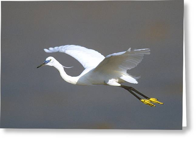 Egret In Flight Kenya Africa Greeting Card by Panoramic Images