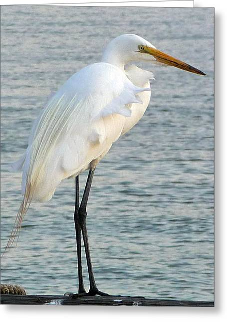 Egret Greeting Card by John Collins