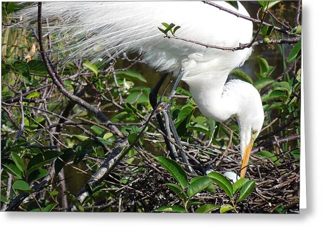 Photography Galleries On Line Greeting Cards - Egret Mom Tending Her Nest Greeting Card by Ron Davidson