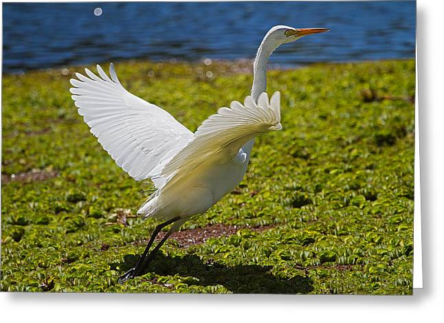 Egret Taking Off Greeting Card by Mr Bennett Kent